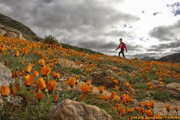 Namaqua Daisies, giving athletes a run for their money